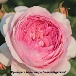 Розы Кордес. Парковые