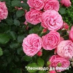 Розы Мейян. Флорибунды