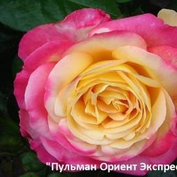 Розы Мейян. Чайно-гибридные