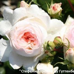 Розы Тантау Флорибунда